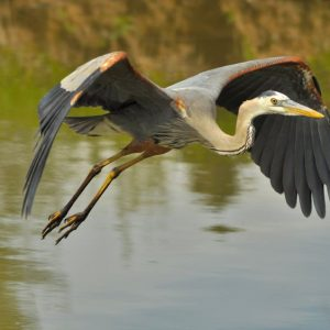 41036680 - great blue heron flying across lake