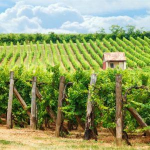 45885215 - old vineyard of blaufrankisch blue frankish grape in hungary