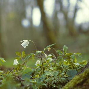 anemones-4984095_1280pixa