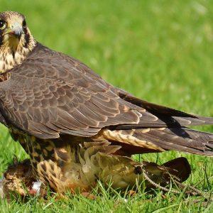 falcon-1329522_1280pixa
