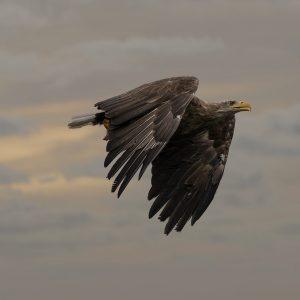 the-white-tailed-eagle-4892944_1280pixa
